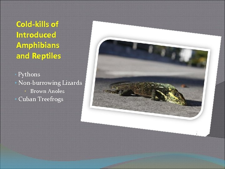 Cold-kills of Introduced Amphibians and Reptiles • Pythons • Non-burrowing Lizards • Brown Anoles
