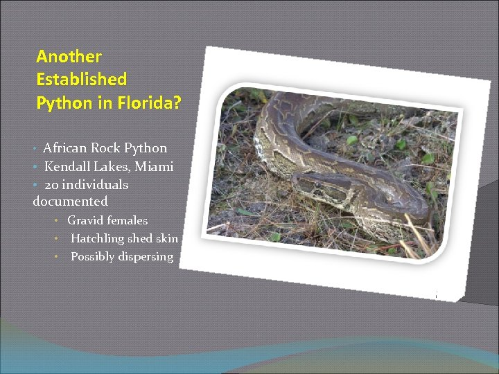 Another Established Python in Florida? • African Rock Python • Kendall Lakes, Miami •