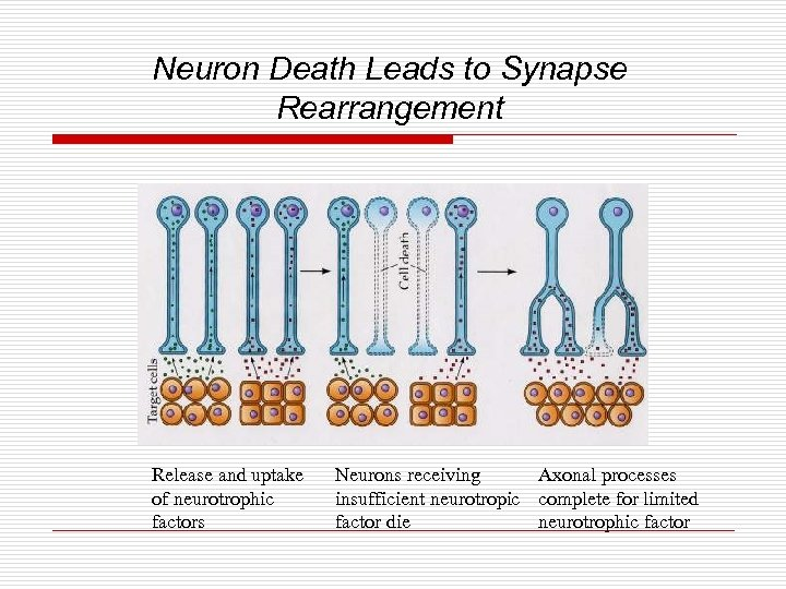 Neuron Death Leads to Synapse Rearrangement Release and uptake of neurotrophic factors Neurons receiving