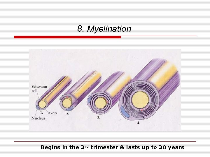 8. Myelination Begins in the 3 rd trimester & lasts up to 30 years