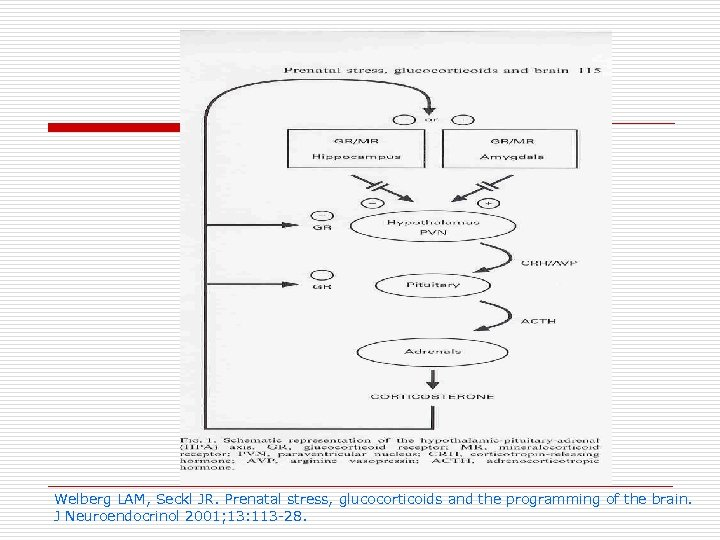 Welberg LAM, Seckl JR. Prenatal stress, glucocorticoids and the programming of the brain. J