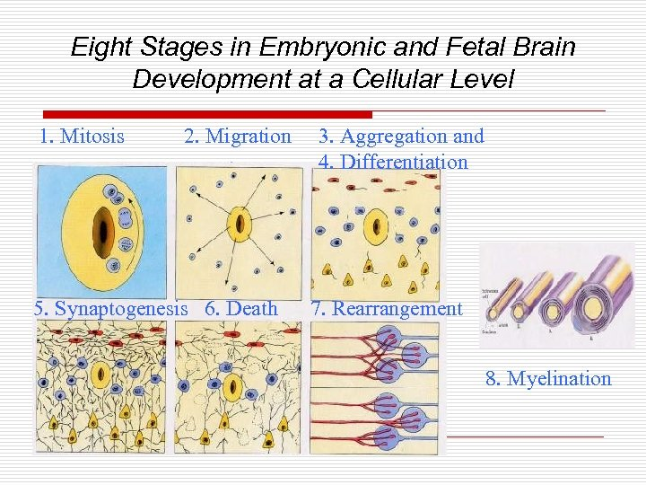 Eight Stages in Embryonic and Fetal Brain Development at a Cellular Level 1. Mitosis