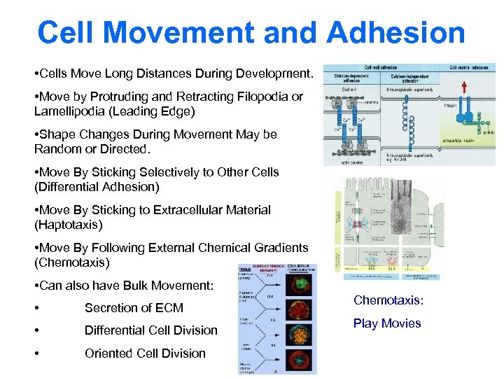 Cell Movement and Adhesion • Cells Move Long Distances During Development. • Move by