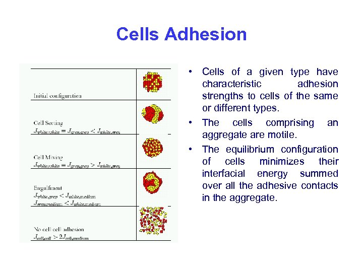 Cells Adhesion • Cells of a given type have characteristic adhesion strengths to cells