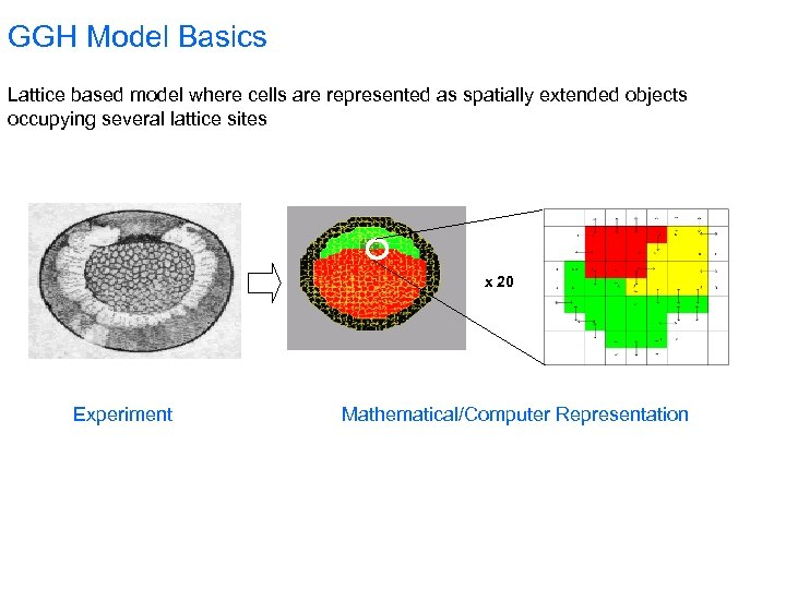 GGH Model Basics Lattice based model where cells are represented as spatially extended objects