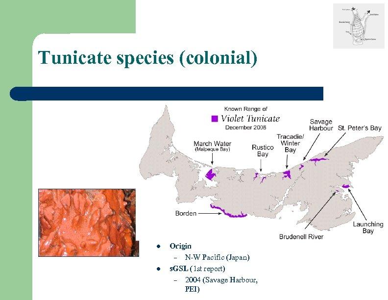 Tunicate species (colonial) l l Origin – N-W Pacific (Japan) s. GSL (1 st