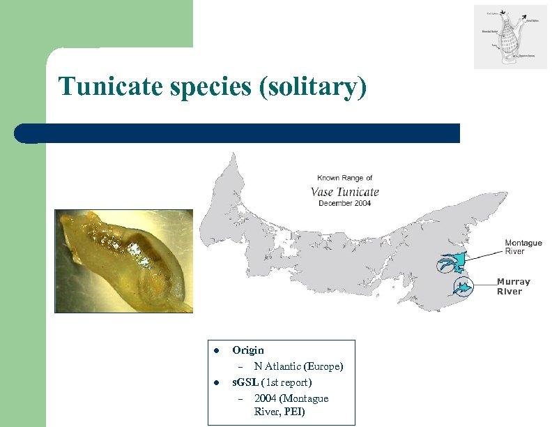 Tunicate species (solitary) Murray River l l Origin – N Atlantic (Europe) s. GSL