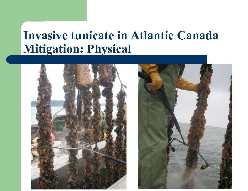 Invasive tunicate in Atlantic Canada Mitigation: Physical