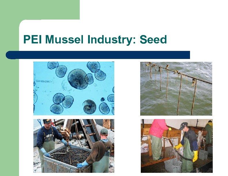 PEI Mussel Industry: Seed