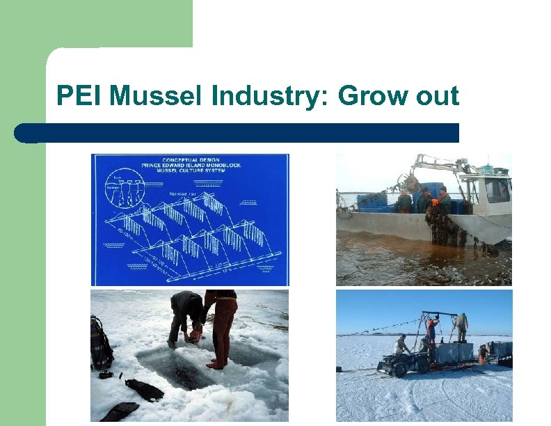PEI Mussel Industry: Grow out