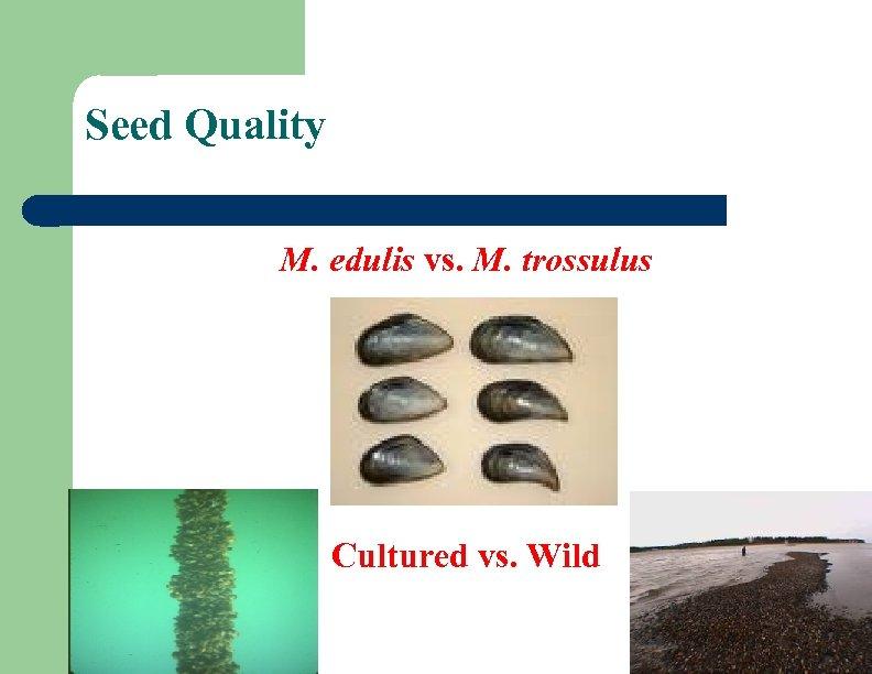 Seed Quality M. edulis vs. M. trossulus Cultured vs. Wild
