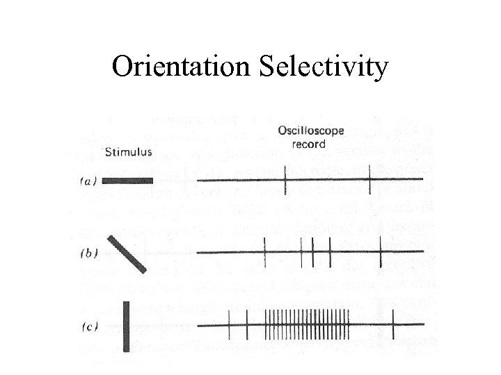 Orientation Selectivity