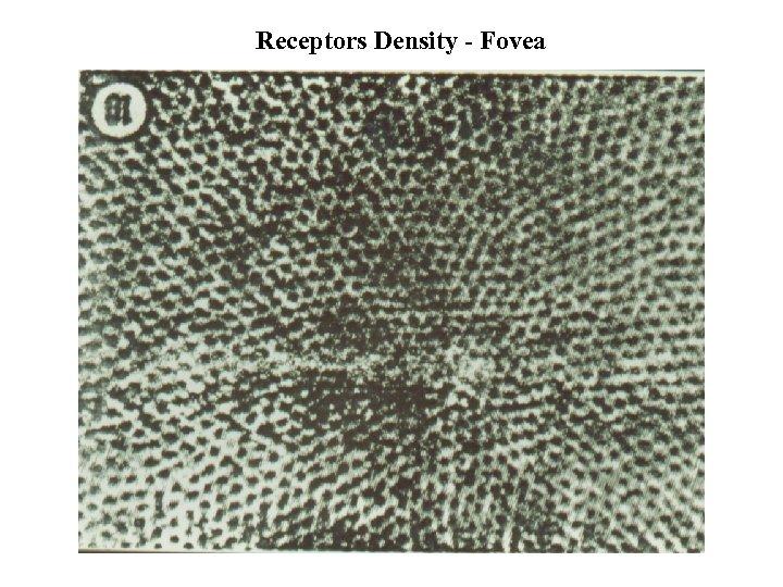 Receptors Density - Fovea