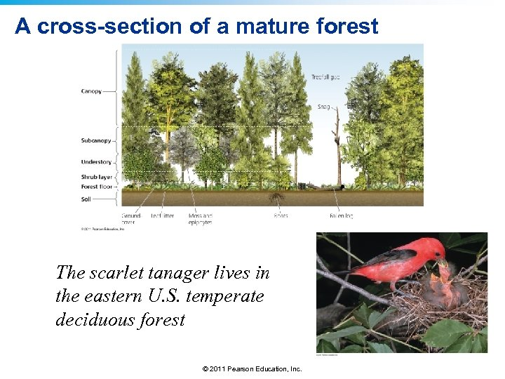 A cross-section of a mature forest The scarlet tanager lives in the eastern U.