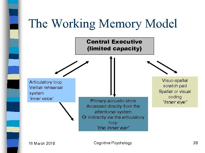 The Working Memory Model Central Executive (limited capacity) Articulatory loop Verbal rehearsal system 'inner
