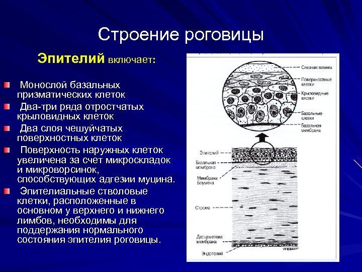 Строение роговицы Эпителий включает: Монослой базальных призматических клеток Два-три ряда отростчатых крыловидных клеток Два