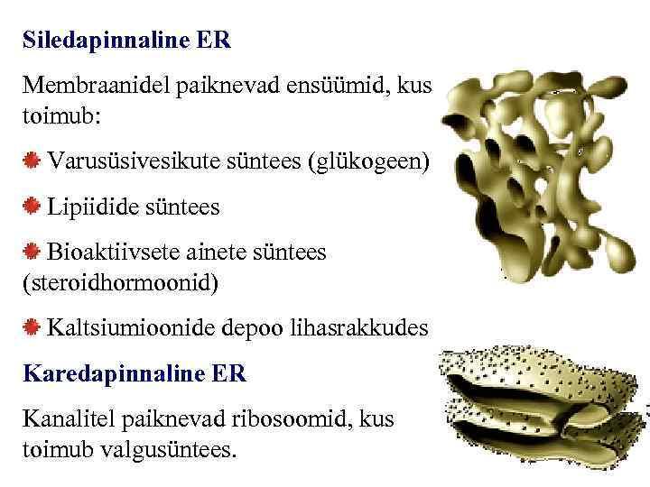 Siledapinnaline ER Membraanidel paiknevad ensüümid, kus toimub: Varusüsivesikute süntees (glükogeen) Lipiidide süntees Bioaktiivsete ainete