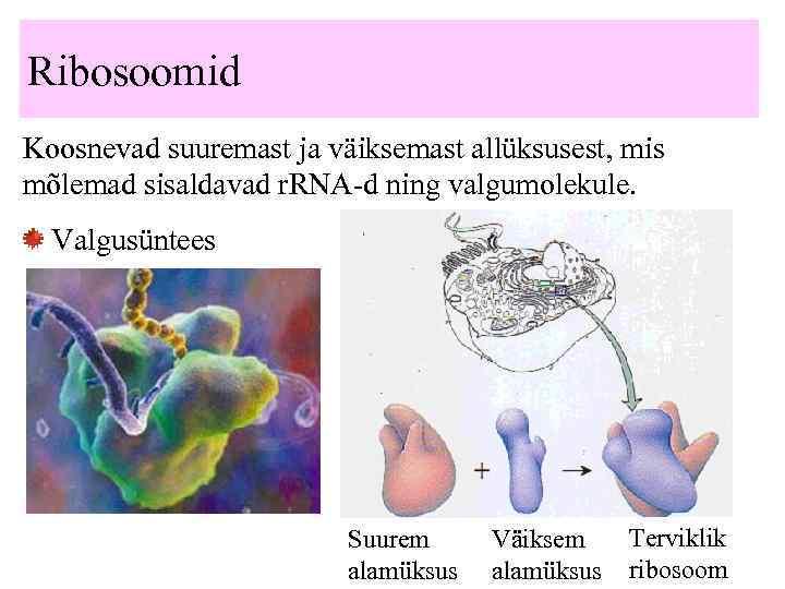Ribosoomid Koosnevad suuremast ja väiksemast allüksusest, mis mõlemad sisaldavad r. RNA-d ning valgumolekule. Valgusüntees