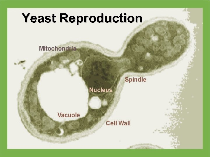 Yeast Reproduction