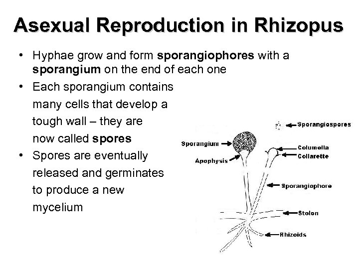 Asexual Reproduction in Rhizopus • Hyphae grow and form sporangiophores with a sporangium on