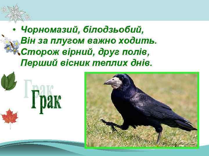 • Чорномазий, білодзьобий, Він за плугом важно ходить. Сторож вірний, друг полів, Перший