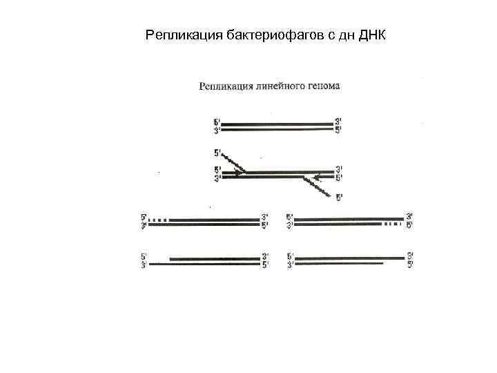 Репликация бактериофагов с дн ДНК