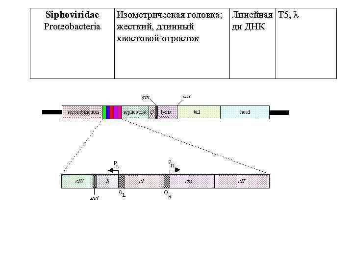 Siphoviridae Proteobacteria Изометрическая головка; Линейная T 5, λ жесткий, длинный дн ДНК хвостовой отросток
