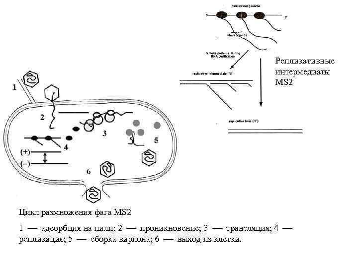 Репликативные интермедиаты MS 2 Цикл размножения фага MS 2 1 адсорбция на пили; 2