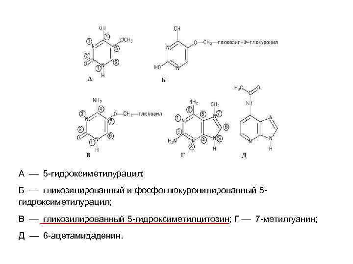 А 5 -гидроксиметилурацил; Б гликозилированный и фосфоглюкуронилированный 5 гидроксиметилурацил; В гликозилированный 5 -гидроксиметилцитозин; Г