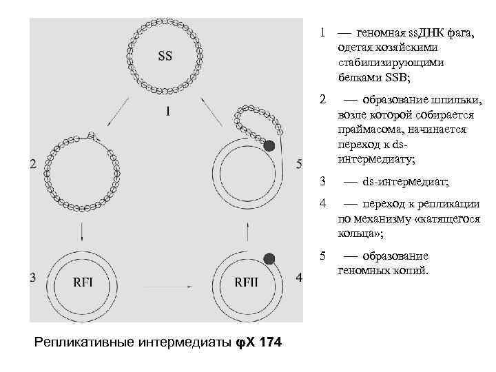 1 геномная ss. ДНК фага, одетая хозяйскими стабилизирующими белками SSB; 2 3 образование шпильки,