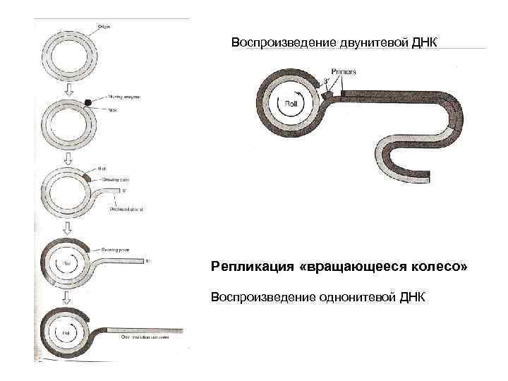 Воспроизведение двунитевой ДНК Репликация «вращающееся колесо» Воспроизведение однонитевой ДНК