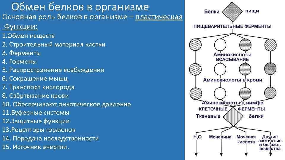 Обмен белков в организме Основная роль белков в организме – пластическая Функции: 1. Обмен