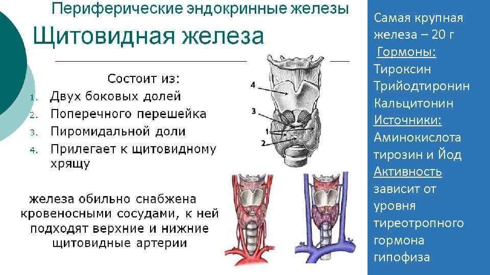Самая крупная железа – 20 г Гормоны: Тироксин Трийодтиронин Кальцитонин Источники: Аминокислота тирозин