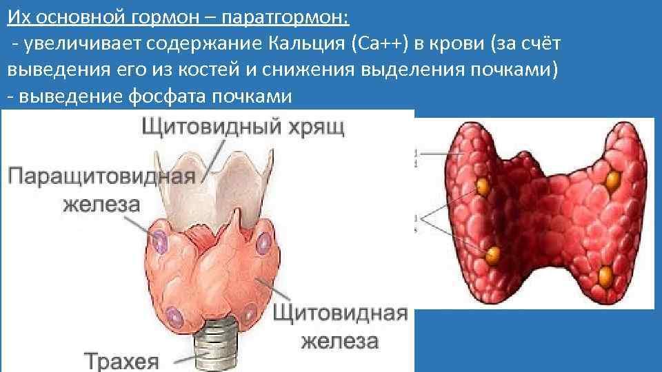 Их основной гормон – паратгормон: - увеличивает содержание Кальция (Са++) в крови (за счёт