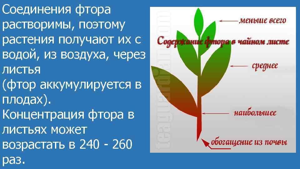 Соединения фтора растворимы, поэтому растения получают их с водой, из воздуха, через листья (фтор
