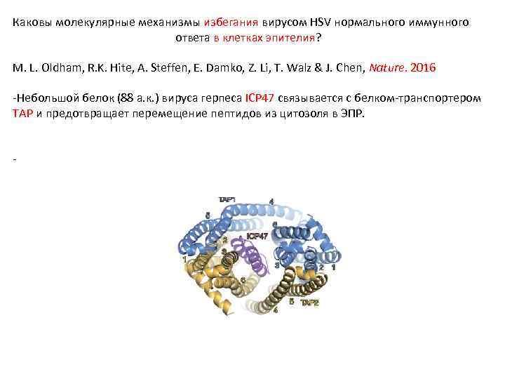 Каковы молекулярные механизмы избегания вирусом HSV нормального иммунного ответа в клетках эпителия? M. L.