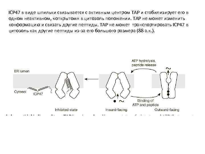 ICP 47 в виде шпильки связывается с активным центром TAP и стабилизирует его в