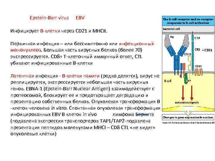 Epstein-Barr virus EBV Инфицирует В-клетки через СD 21 и MHCII. Первичная инфекция –