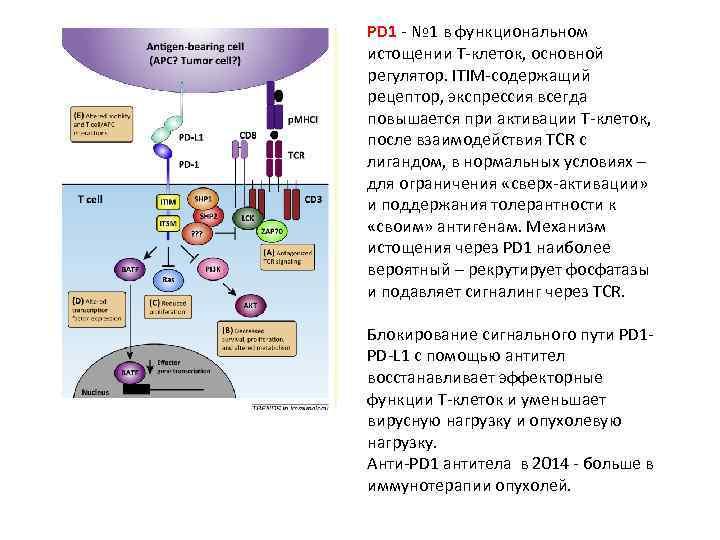 PD 1 - № 1 в функциональном истощении Т-клеток, основной регулятор. ITIM-содержащий рецептор, экспрессия