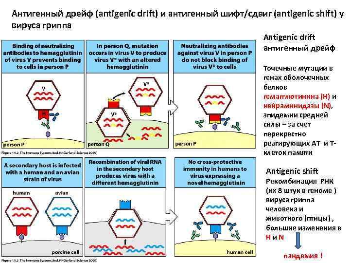 Антигенный дрейф (antigenic drift) и антигенный шифт/сдвиг (antigenic shift) у вируса гриппа Antigenic drift