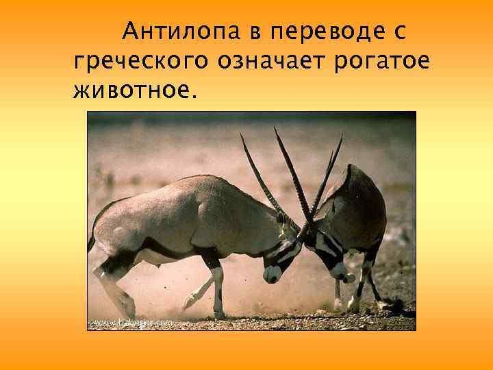 Антилопа в переводе с греческого означает рогатое животное.