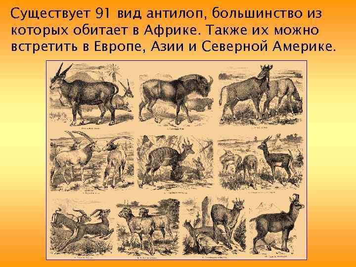 Существует 91 вид антилоп, большинство из которых обитает в Африке. Также их можно встретить