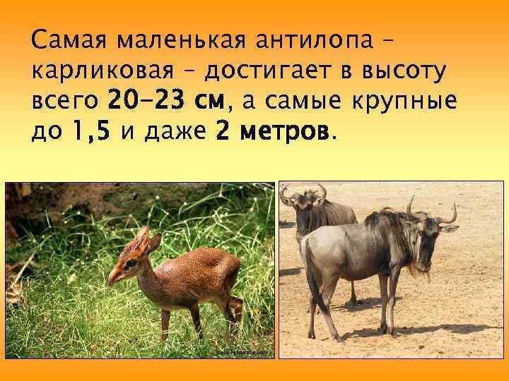Самая маленькая антилопа – карликовая – достигает в высоту всего 20 -23 см, а