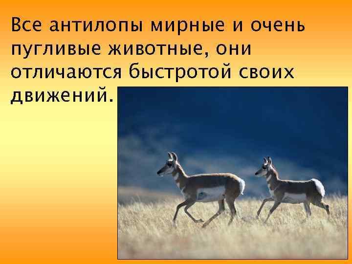 Все антилопы мирные и очень пугливые животные, они отличаются быстротой своих движений.