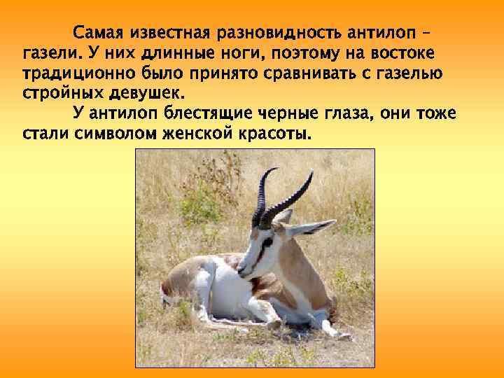 Самая известная разновидность антилоп – газели. У них длинные ноги, поэтому на востоке традиционно