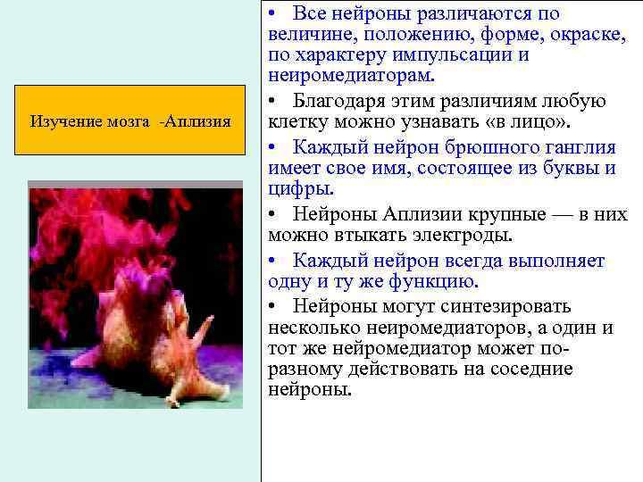 Изучение мозга -Аплизия • Все нейроны различаются по величине, положению, форме, окраске, по характеру