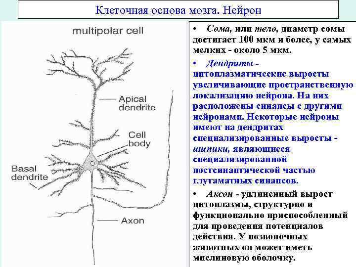 Клеточная основа мозга. Нейрон • Сома, или тело, диаметр сомы достигает 100 мкм и