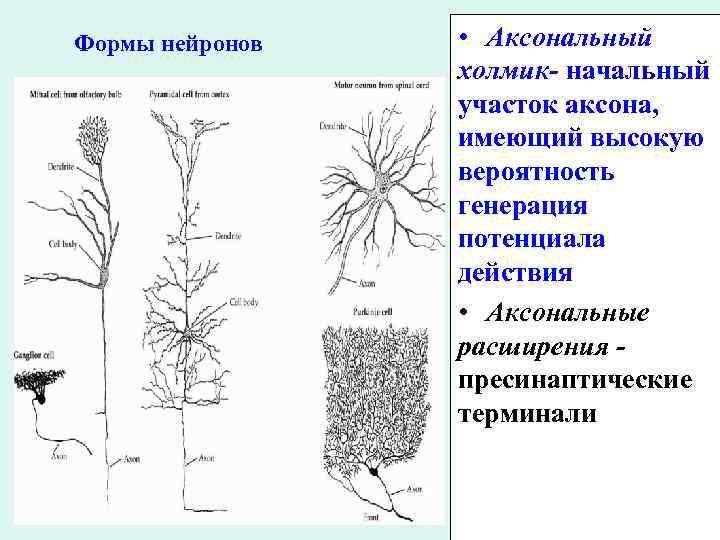 Формы нейронов • Аксональный холмик- начальный участок аксона, имеющий высокую вероятность генерация потенциала действия