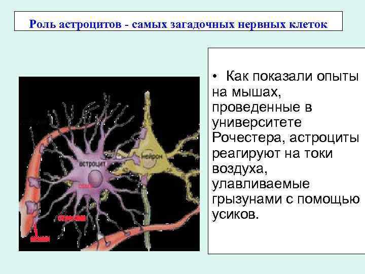 Роль астроцитов - самых загадочных нервных клеток • Как показали опыты на мышах, проведенные