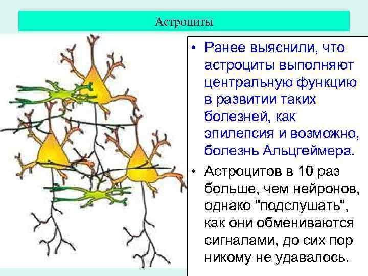Астроциты • Ранее выяснили, что астроциты выполняют центральную функцию в развитии таких болезней, как